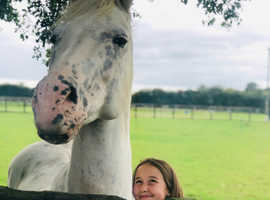 14,3/15hh spotted gelding. An honest, kind boy who loves jumping
