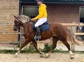 *STUNNING* Show Type, Full up Welsh C Project Gelding
