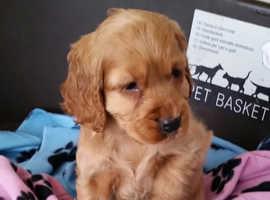 Pure golden show type Cocker spaniel puppy