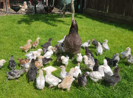 FERTILE  HATCHING  EGGS mixed pure breed. 1£/EACH