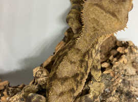 Proven male crested gecko with or without setup