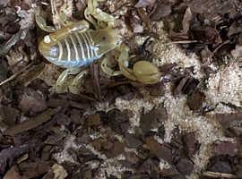 S maurus scorpion