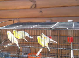 dimorphic canaries for sale