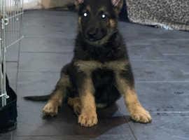 3 straight backed German Shepard puppies