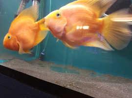 Beautiful pair of Parrot Fish