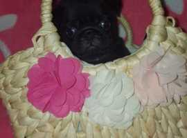Black and Fawn Pug Puppies For Sale