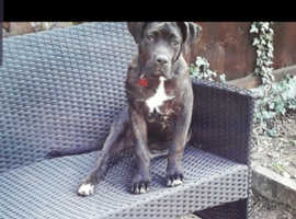 American xl bully cross cane corso for stud only