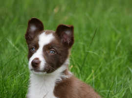 Beautiful red and white collie pup