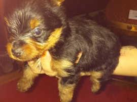 Lovely little Yorkshire terrier boy