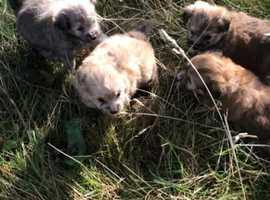 Bichon frise x Pomeranian puppies for sale