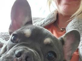 Kc registered male french bull dog