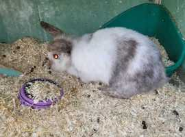 2 x 7 month old rabbits, mating pair, for sale to good home