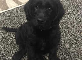 10 week old Labrador