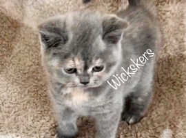 Female British shorthair kitten