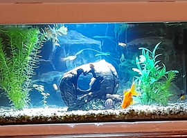 Full coldwater aquarium fish tank set up - including fish and all accessories - SEE DESC