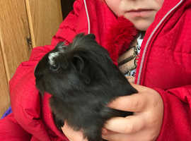 Friendly beautiful Guinea Pigs For Sale( New Litters)