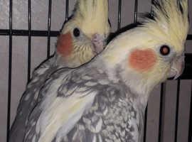 Cockatiel pair with cage