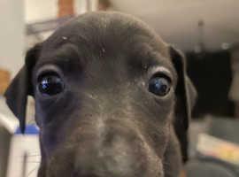 Highland whippet saluki greyhound pups