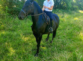 Substantial 15.2hh friesian cross mare