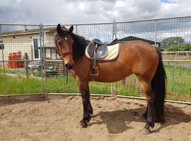 Poppy - 15.2hh 9year old mare