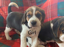 Adorable Beagle Puppies - ready to leave this weekend