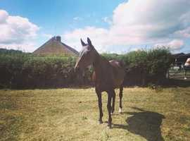 Ex Polo 16hh Mare for sale