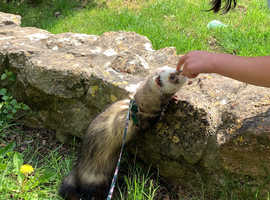 Male Ferret for rehoming