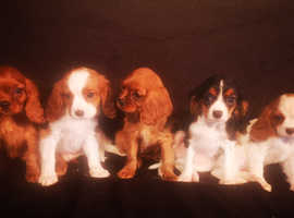 Health Checked Cavalier King Charles Puppies