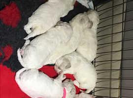 Bichon/Lhasa Bichon Pups