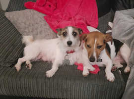 Jack Russell puppys
