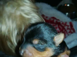 pedigree yorkshire terrier puppies,microchipped, brought up in a family home
