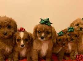 Beautiful Cavapoo Pups For Sale.