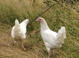 Skyline hens for sale