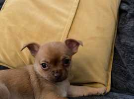 Gorgeous little tea cup chihuahua puppy, ready from 13th May
