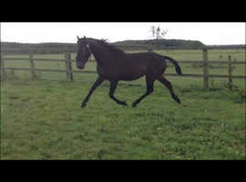 Show jump bred but not recorded