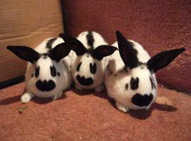 Baby English rabbits in Kent