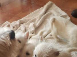 KC West Highland terrier puppies