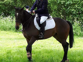 Sweet 6 year old sports horse/thoroughbred mare