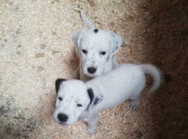 Cocker Jack puppies for sale