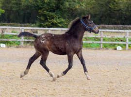 May 2020 colt to make 16.2 for sale