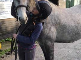Fully registered connemara mare