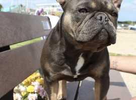 Blue and Tan (Lilac producer) French Bulldog