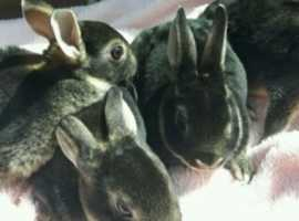 Baby Black Otter Mini Rex