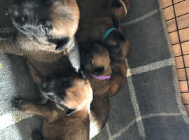 malinois x herder pups for sale