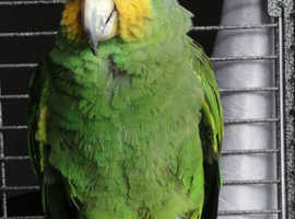 Orange winged Amazon