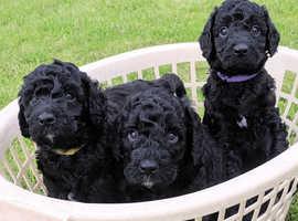 Labradoodle puppies miniature