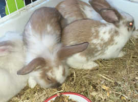 Cute young rabbits for sale