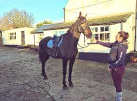 17.2hh 11 year old gelding, Irish draught (Project £2500)