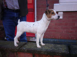 Jack russell bitch 6 months old