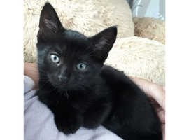 Pure Black Female Kitten Wanted